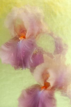 Website_Two Iris Dew.jpg