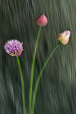 Chives in Transition